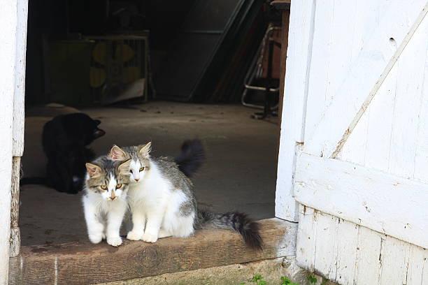 Barn Cats and Kittens in Iowa stock photo
