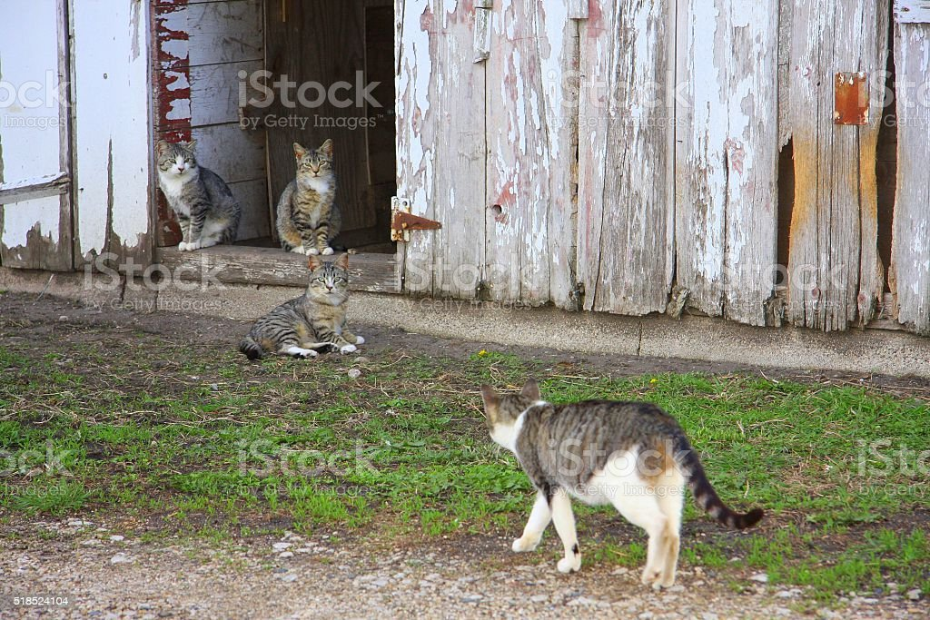 Barn Cats Hang Out on Iowa Farm stock photo