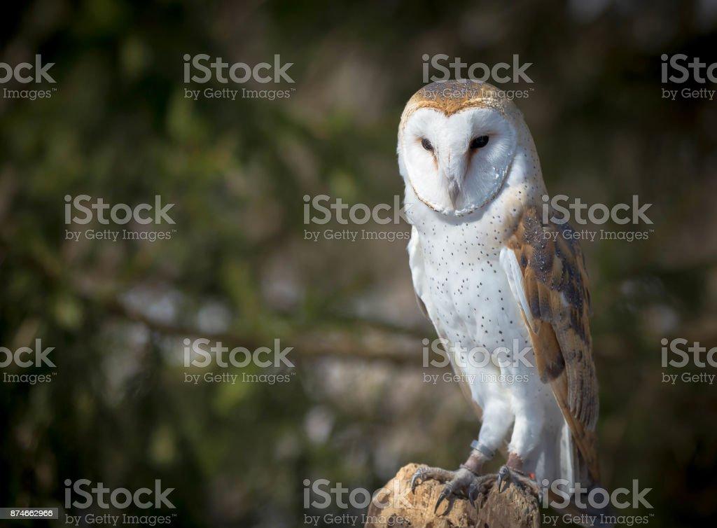 Barn Eagle stock photo