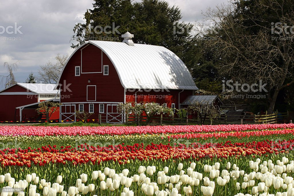 Barn in Tulip Fields royalty-free stock photo