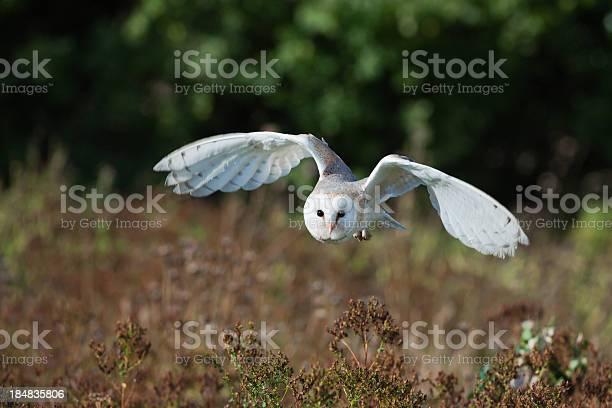Barn owl at dusk hunting for prey picture id184835806?b=1&k=6&m=184835806&s=612x612&h=l hs68eu8nazaicnagotpvgvw021ico15xec0m6qrq0=