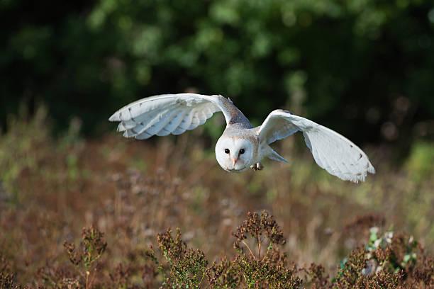 Barn owl at dusk hunting for prey picture id184835806?b=1&k=6&m=184835806&s=612x612&w=0&h=8xew9srpccucnamrxizuxva72hhu58w2eyhbck5a6fi=
