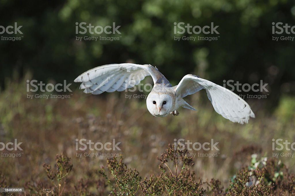 Barn Owl at dusk hunting for prey. stock photo