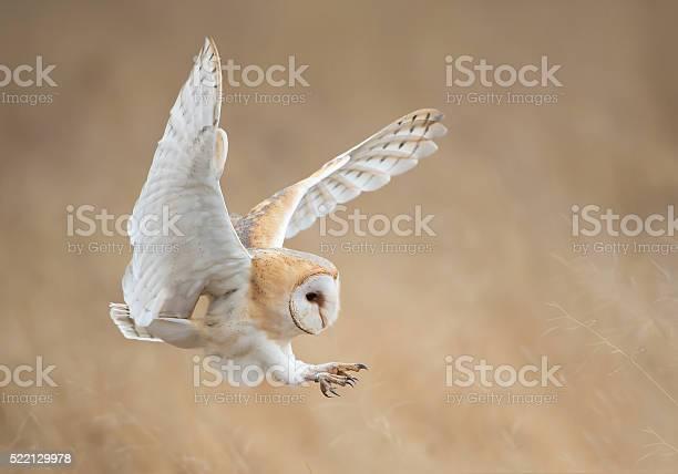 Barn owl attack picture id522129978?b=1&k=6&m=522129978&s=612x612&h= ji2gk anbhyo09yzijy9hhvil mbgjyizykvum9fsc=