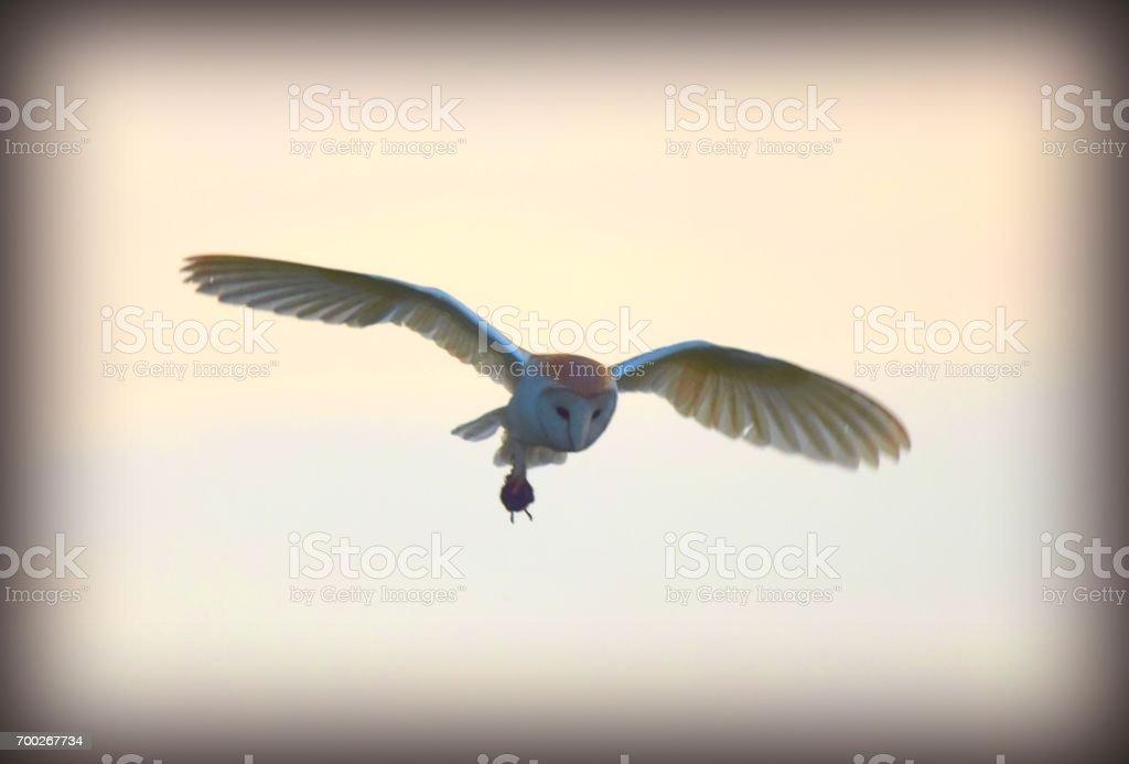 barn owl bird of prey in flight flying at sunset carrying prey