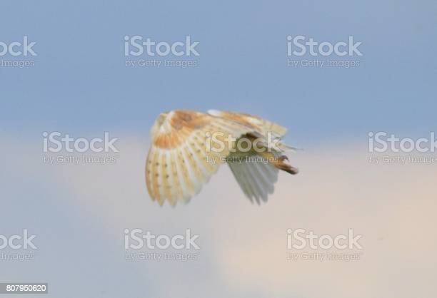 Barn owl bird of prey in flight flying at sunset dusk picture id807950620?b=1&k=6&m=807950620&s=612x612&h=nwuuwyzwskru y2h4mzzqwsffosweyt0vrm3hcj wwe=