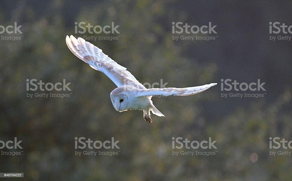 barn owl bird of prey in flight flying at sunset dusk stock photo