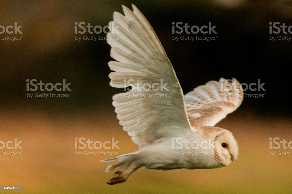 barn owl bird of prey in flight flying