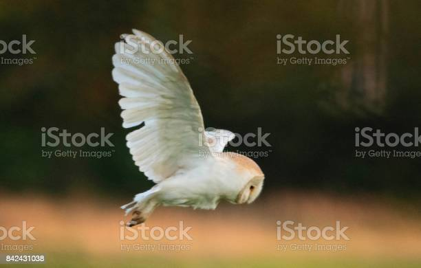 Barn owl bird of prey in flight flying at sunset dusk picture id842431038?b=1&k=6&m=842431038&s=612x612&h=gt xfomxz4pywqfjf3j1p uwg6dwnmozkhuqzkeg2zm=