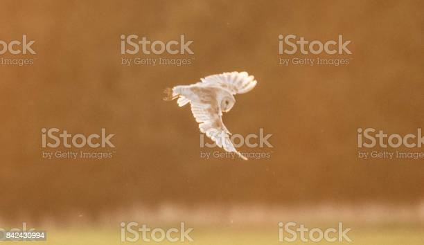 Barn owl bird of prey in flight flying hunting picture id842430994?b=1&k=6&m=842430994&s=612x612&h=emd8uwiqlip2tzy1tlj kofabomkr9bna4yyzzrypsu=