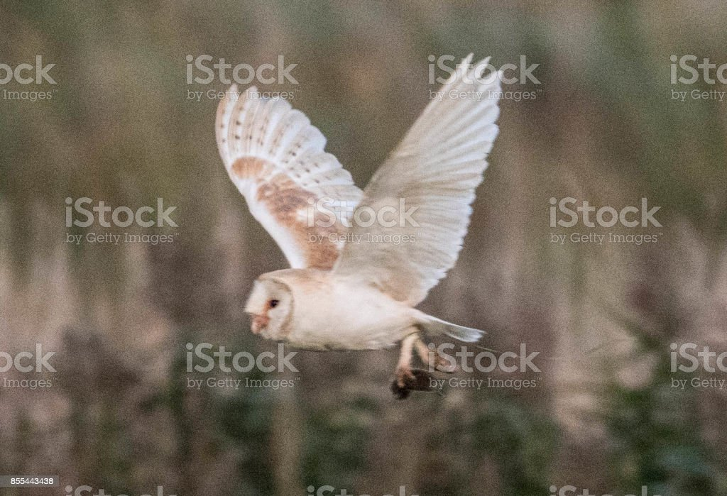 barn owl flying back to nest with a vole