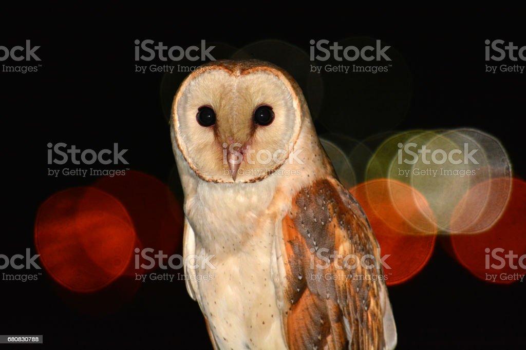 barn owl bird stock photo