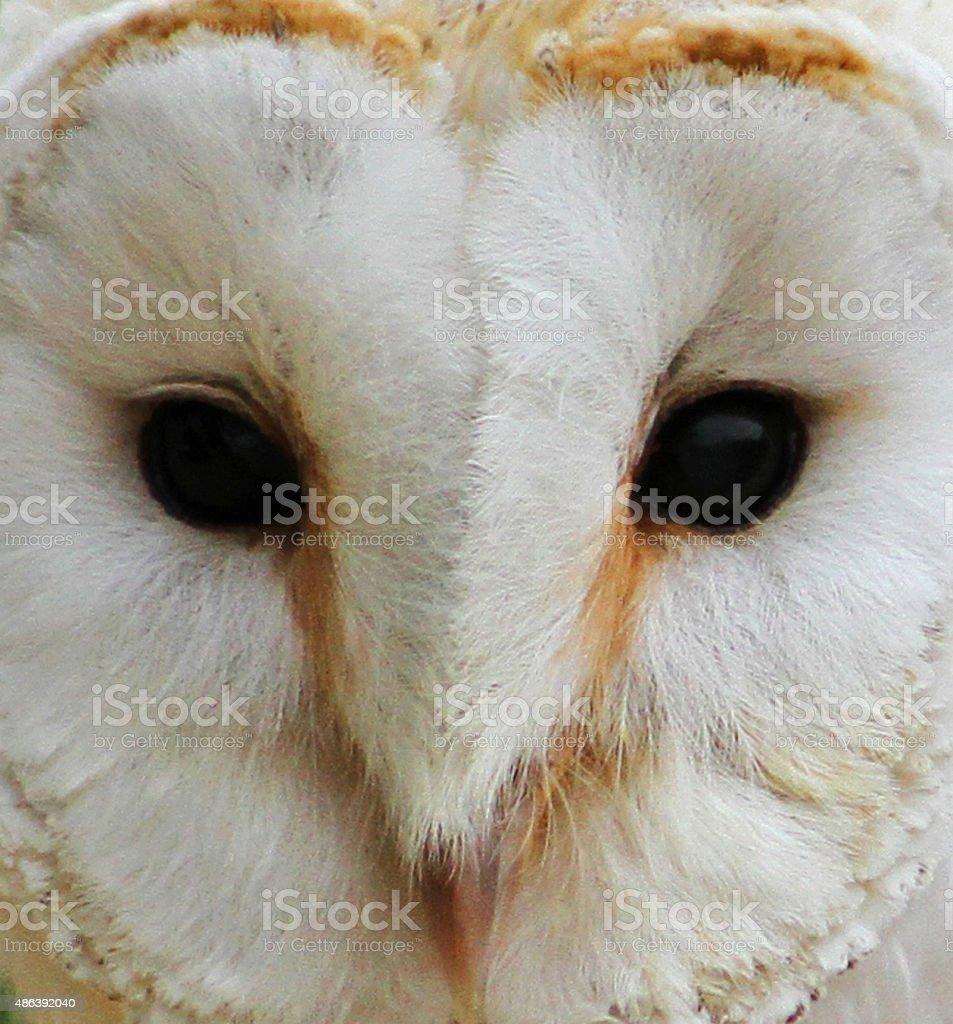 Barn Owl close up. stock photo