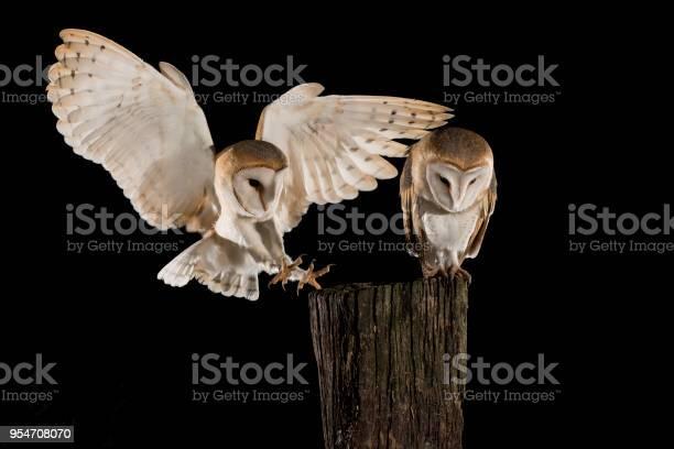 Barn owl couple male and female in flight perching on a trunk with picture id954708070?b=1&k=6&m=954708070&s=612x612&h=1j6bohem8iu27f0lljghvro6sazv4zfgv4prkqf55ec=