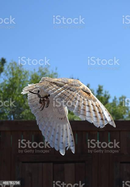 Barn owl downstroke picture id469783756?b=1&k=6&m=469783756&s=612x612&h=a9vcxaib5tpsyikqahr8jlwqof kmp5vxsrh jznhna=