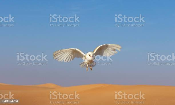Barn owl during a desert falconry show in dubai uae picture id643624764?b=1&k=6&m=643624764&s=612x612&h=gwy6rfc3z4sng5gnew5m7hp9 gst8u7ml69ek igcta=