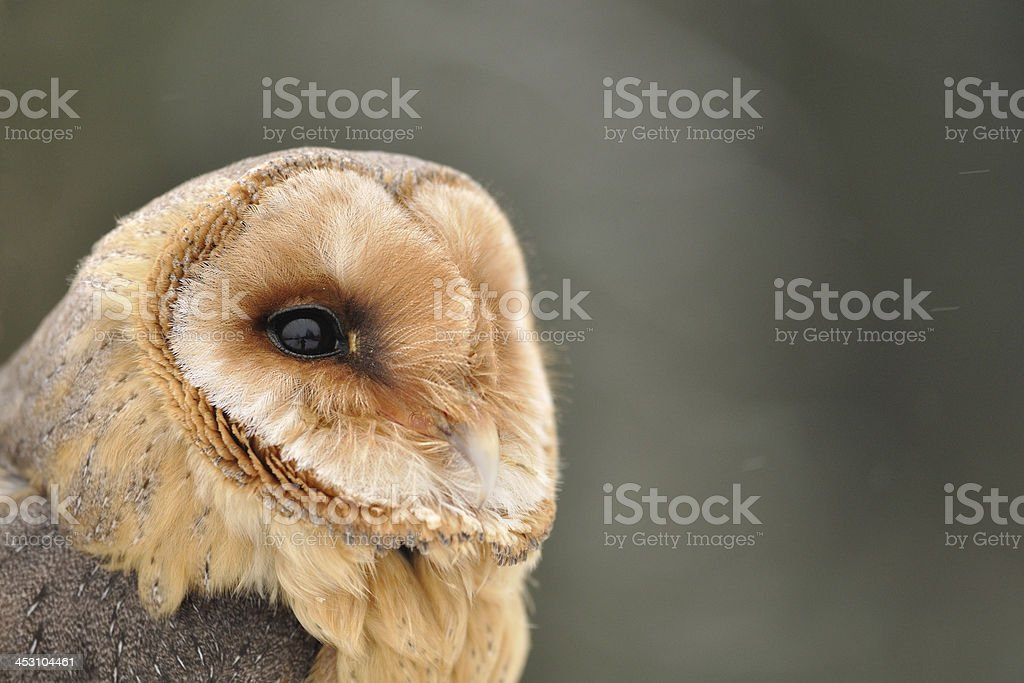 Barn owl face looking right stock photo