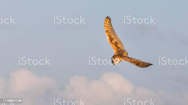 Barn owl flying past barn picture id1176637239?b=1&k=6&m=1176637239&s=612x612&h=o2obokpguymaml pp3tlyywea  cchjcarnp6kxzf18=