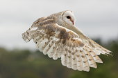 Barn owl Tyto alba takes shelter in a wooden structure in Florida.