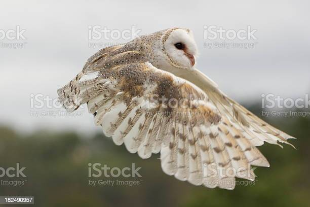 Barn owl flying picture id182490957?b=1&k=6&m=182490957&s=612x612&h=rrpcitwdzemx1ebe5 ms4slb1mmw17mbpis9edt67pm=