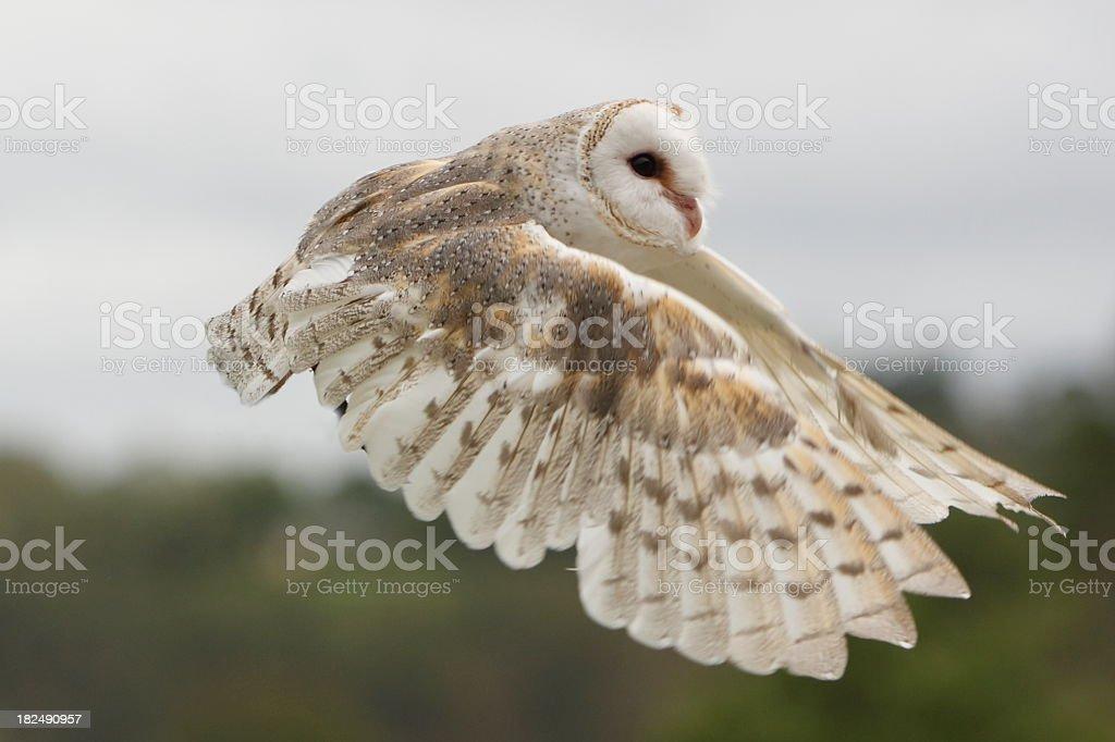 Barn Owl Flying stock photo