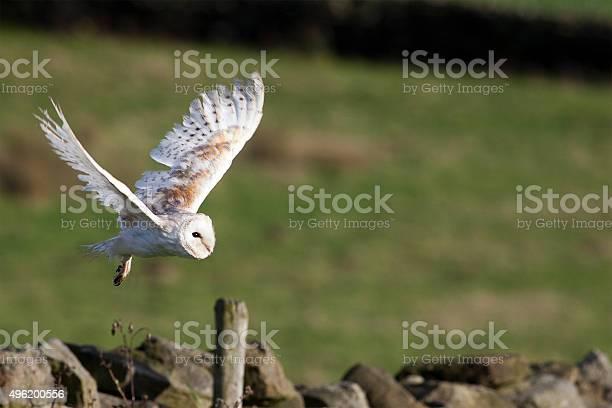 Barn owl flying picture id496200556?b=1&k=6&m=496200556&s=612x612&h=hgu5c5jvke7lsbbqc6roqaj9zcdph11knx ypsnv9 e=