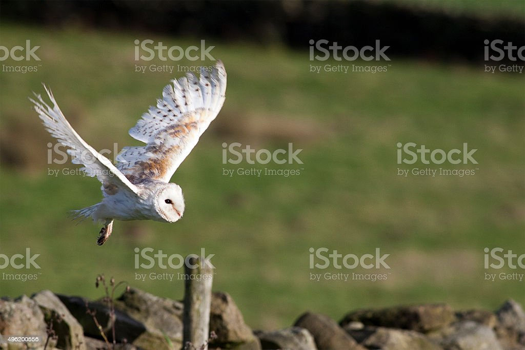 Barn Owl (Tyto alba) Flying stock photo