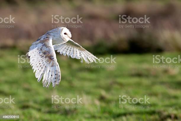 Barn owl flying picture id496200910?b=1&k=6&m=496200910&s=612x612&h=7cptwdiljdnl fihgh8wjzc2dpajnpc8ihmhs1vdcfu=