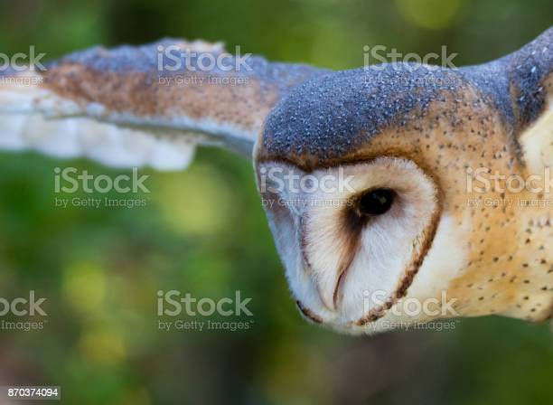 Barn owl flying picture id870374094?b=1&k=6&m=870374094&s=612x612&h=cbf aspt4i1t8ip5hu2lzx0uixmlmmkn00k2rdsh6oo=