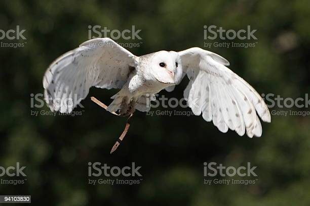 Barn owl flying picture id94103830?b=1&k=6&m=94103830&s=612x612&h=6ti3y tj9abslesfgeh8voibwwnrlbltm8pb6rxghmu=