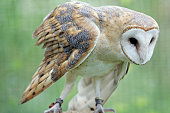 Colourful set of Barn Owls on vibrant backgrounds.