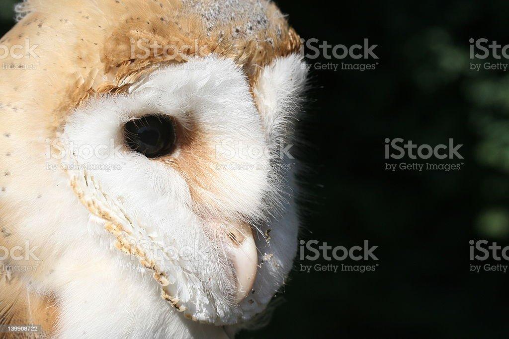 Barn Owl - head shot (Tyto alba) stock photo