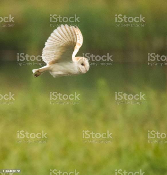 Barn owl hunting at dawn picture id1164406158?b=1&k=6&m=1164406158&s=612x612&h=f61yaye0glzw g0 zlxqxqn3p8jebgnra7iujiioode=