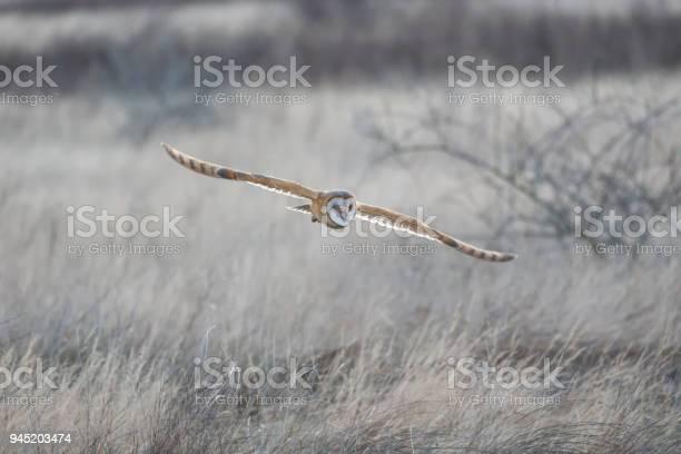 Barn owl hunting picture id945203474?b=1&k=6&m=945203474&s=612x612&h=3b4060chzvvhz723jtitqfctz6wv9tdlkhmeico2sro=