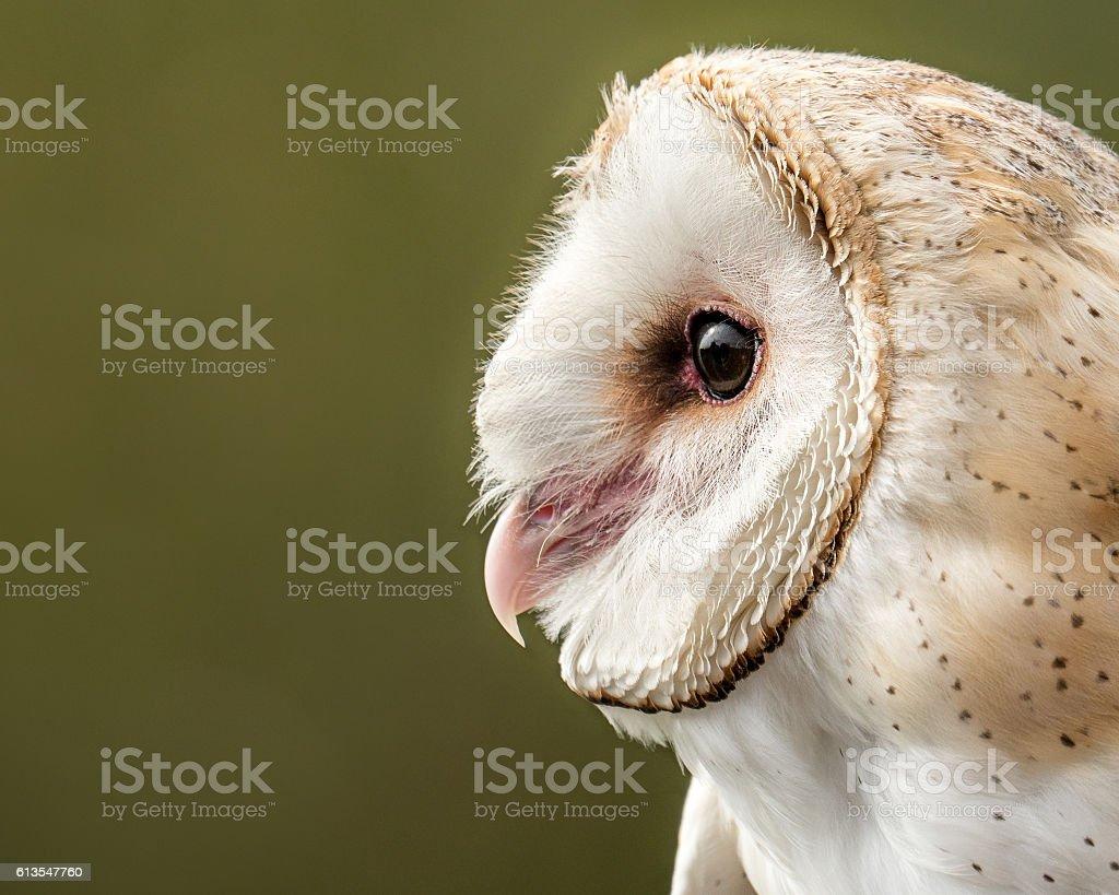 Barn Owl II stock photo