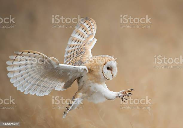 Barn owl in flight before attack picture id518325762?b=1&k=6&m=518325762&s=612x612&h=gv9iwk3g348sojmqhyfkdv ogcwitnhuxckceomi9jg=