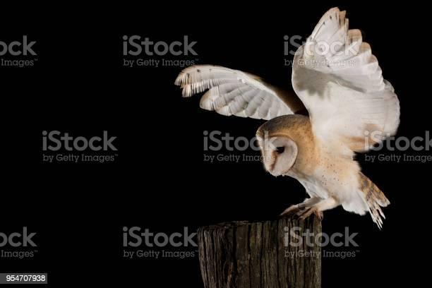 Barn owl in flight of perching on a trunk with open wings black tyto picture id954707938?b=1&k=6&m=954707938&s=612x612&h=vi 5bnoppbglam7kww2 kyudca5nvzdij9lzye7fxui=