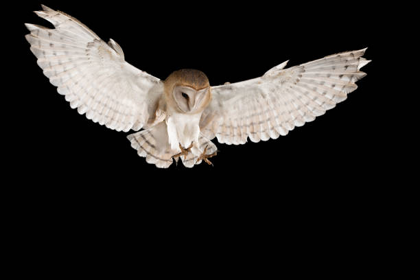 오픈 날개, 검은 배경, tyto 알바와 트렁크에 perching의 비행에 헛간 올빼미 - 육식조 뉴스 사진 이미지