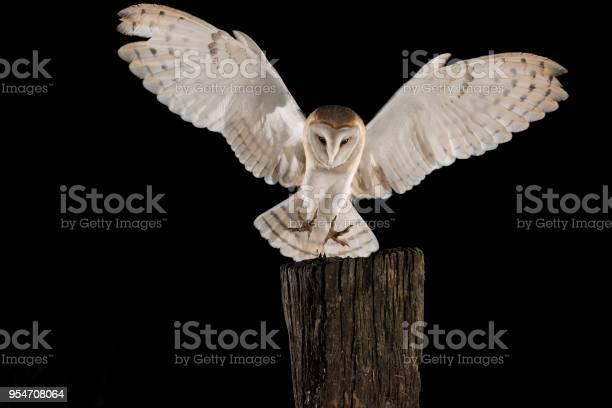 Barn owl in flight of perching on a trunk with open wings black tyto picture id954708064?b=1&k=6&m=954708064&s=612x612&h=uc61m0vcp4hepxb ioya0iumbwxdigndnombqsqgb c=