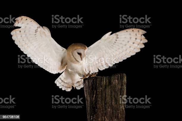 Barn owl in flight of perching on a trunk with open wings black tyto picture id954708108?b=1&k=6&m=954708108&s=612x612&h=fjtdji95dxd2cnpt8uzjpq0ftofd qd7jlomjr4jkc8=