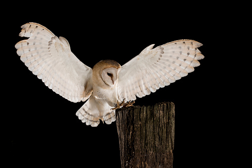 Barn Owl In Flight Of Perching On A Trunk With Open Wings ...