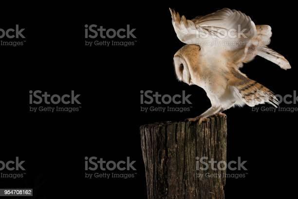Barn owl in flight of perching on a trunk with open wings black tyto picture id954708162?b=1&k=6&m=954708162&s=612x612&h=w5y2pman9o40mg9ra8ajq8gcru n5zy2qedqt8axmdg=