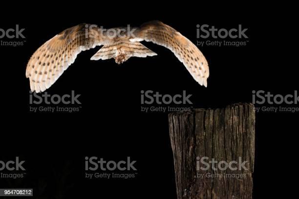 Barn owl in flight of perching on a trunk with open wings black tyto picture id954708212?b=1&k=6&m=954708212&s=612x612&h=qw4 bx8nqdxrdwlivuueotqqz1gntfadffn3sr8rjda=