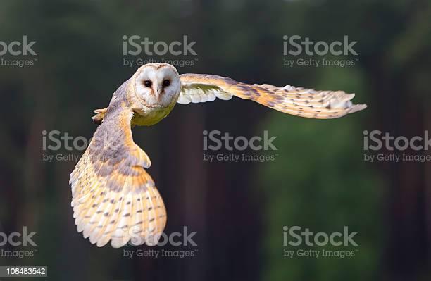 Barn owl in flight picture id106483542?b=1&k=6&m=106483542&s=612x612&h=50xsitdtwd56m o0cwokfpy9vbg4mlr5cgahax9myla=