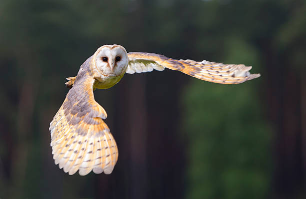 barn owl in flight - uil stockfoto's en -beelden