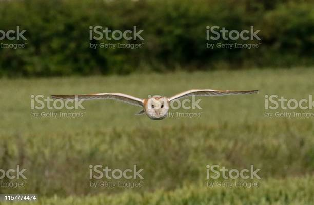 Barn owl in flight picture id1157774474?b=1&k=6&m=1157774474&s=612x612&h=1po7x4howebodpqnus2sjyuc3dnn y68do7axwi1lbc=