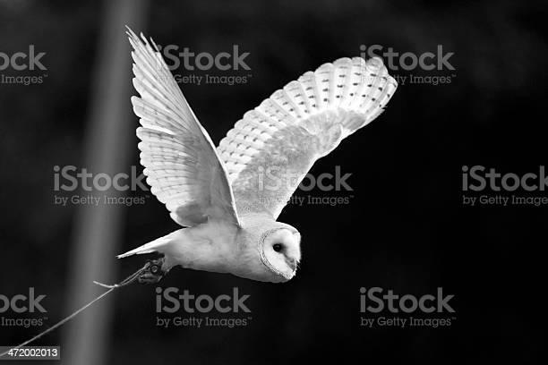 Barn owl in flight picture id472002013?b=1&k=6&m=472002013&s=612x612&h=vyyxkbbkkmrtkkzgbpuoo6vvdxf3uysx fu5bohql s=