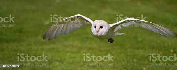 Barn owl in flight picture id481755028?b=1&k=6&m=481755028&s=612x612&h=iuggmpyklvhgtoslx7jc3eaqa9bm0mljo v9gbkarf4=
