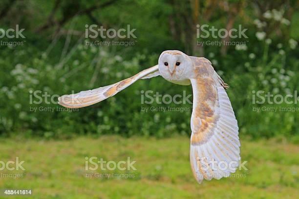 Barn owl in flight picture id488441614?b=1&k=6&m=488441614&s=612x612&h=vwnrkx cylmmh8tz0hqiuw7fokrhsuccqqynv3pzmw4=