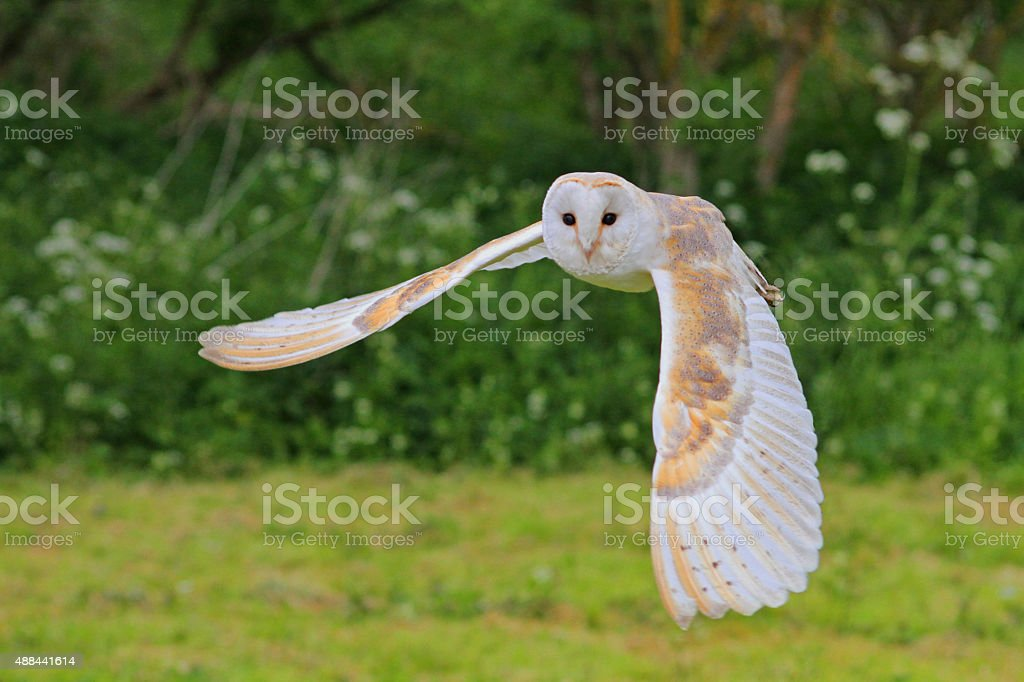 Barn Owl in flight. stock photo